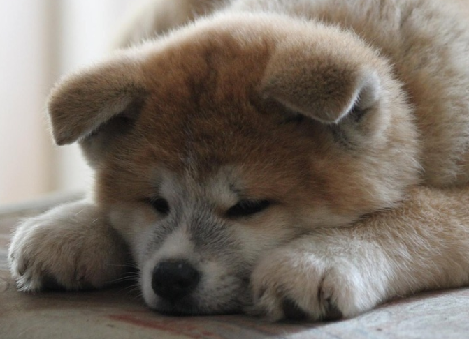 秋田犬、昔と今の顔の違い