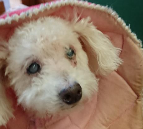 犬の白内障、どう対応するか?