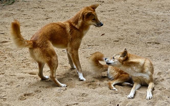 ディンゴ オーストラリアの野犬