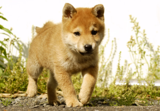 犬のカレンダー 人気は柴犬か?