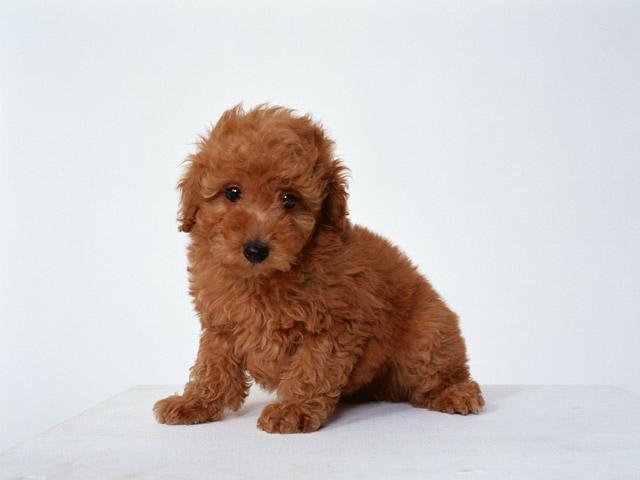 犬を飼う人が減った理由は、犬の価格の高騰では?