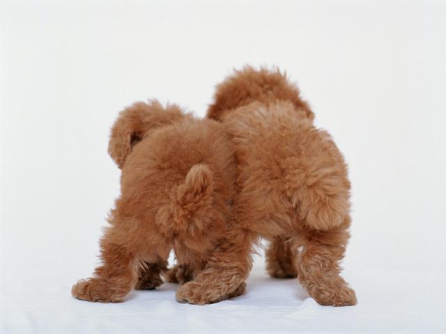 愛玩犬は小さいほど価値がある?この価値観をなおさないと・・・
